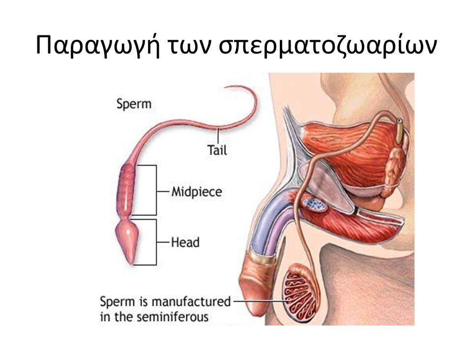 Παραγωγή των σπερματοζωαρίων