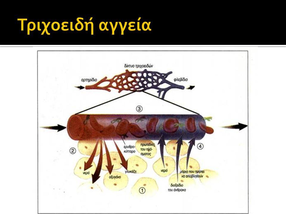 Τριχοειδή αγγεία