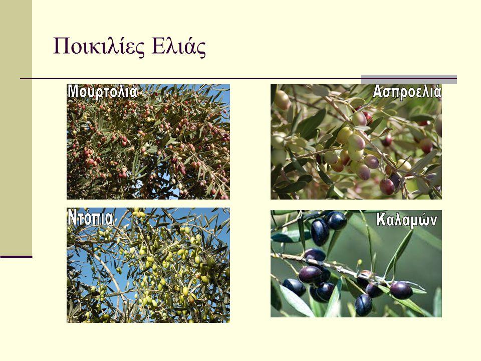 Ποικιλίες Ελιάς Μουρτολιά Ασπροελιά Ντόπια Καλαμών