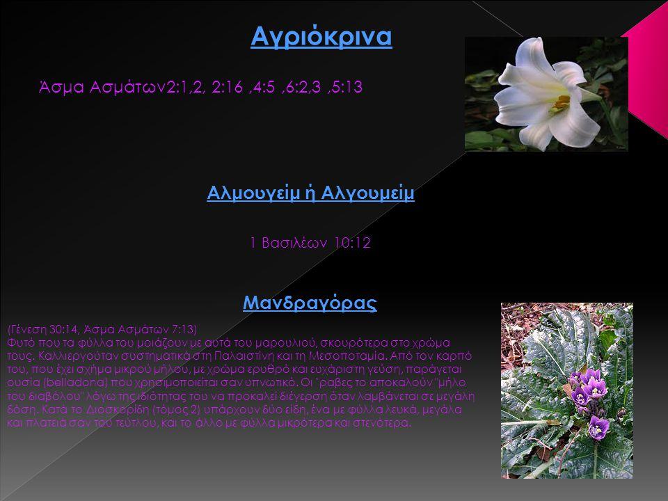 Αγριόκρινα Αλμουγείμ ή Αλγουμείμ Μανδραγόρας
