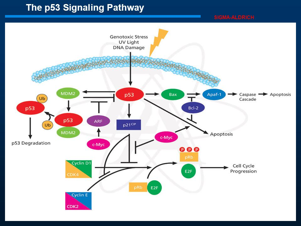 The p53 Signaling Pathway