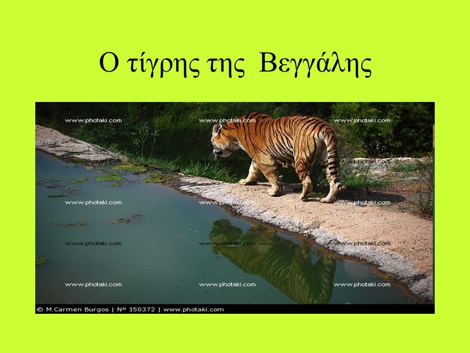 Ο τίγρης της Βεγγάλης
