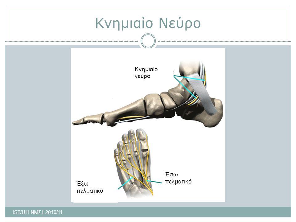 Κνημιαίο Νεύρο Κνημιαίο νεύρο Έσω πελματικό Έξω πελματικό