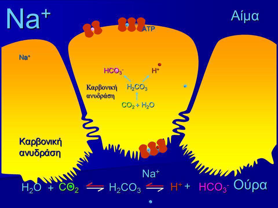 Na+ Αίμα Ούρα Na+ H2O + + CO2 H2CO3 H+ HCO3- Καρβονική ανυδράση ATP