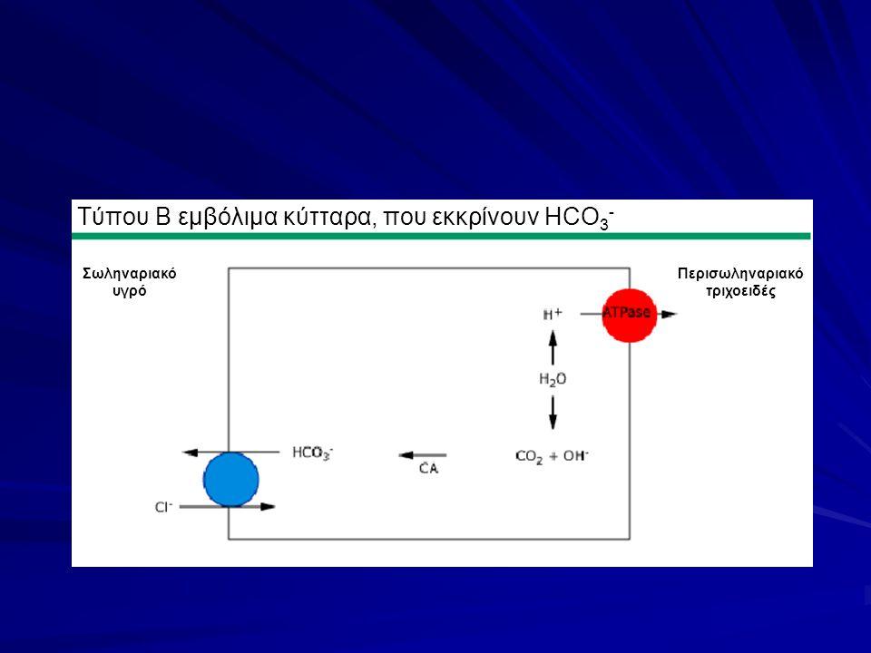 Τύπου Β εμβόλιμα κύτταρα, που εκκρίνουν HCO3-