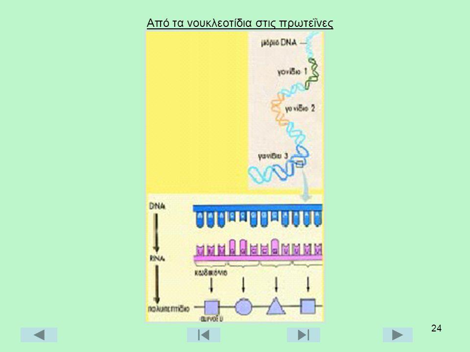 Από τα νουκλεοτίδια στις πρωτεΐνες