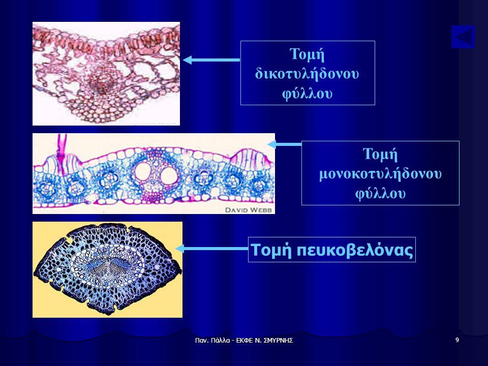 Τομή δικοτυλήδονου φύλλου Τομή μονοκοτυλήδονου φύλλου