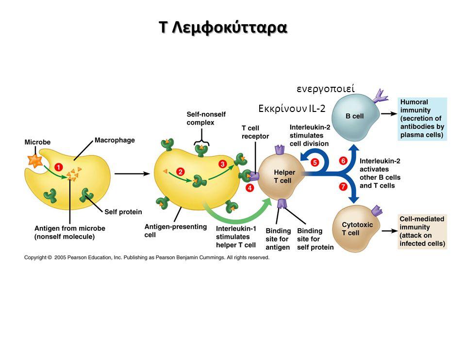 Τ Λεμφοκύτταρα ενεργοποιεί Εκκρίνουν IL-2