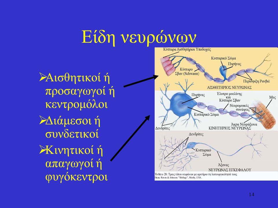 Είδη νευρώνων Αισθητικοί ή προσαγωγοί ή κεντρομόλοι