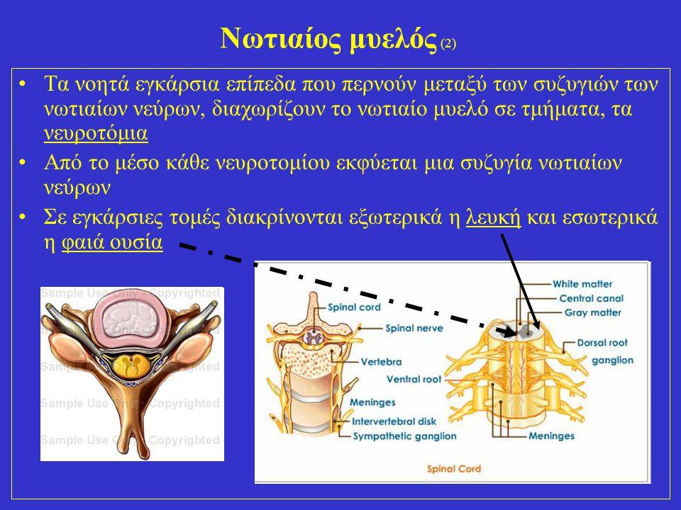 Νωτιαίος μυελός (2)