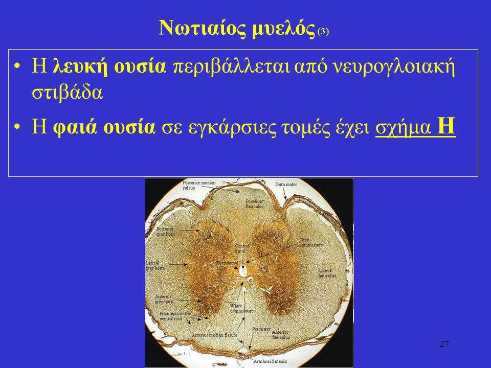 Νωτιαίος μυελός (3) Η λευκή ουσία περιβάλλεται από νευρογλοιακή στιβάδα.