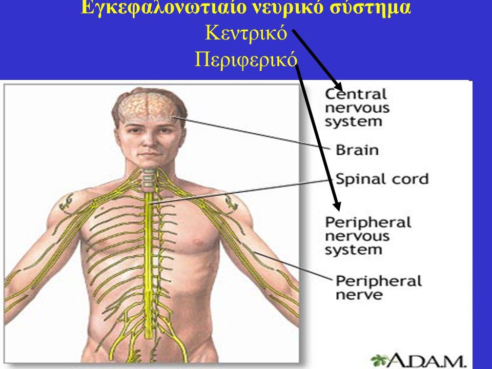 Εγκεφαλονωτιαίο νευρικό σύστημα Κεντρικό Περιφερικό