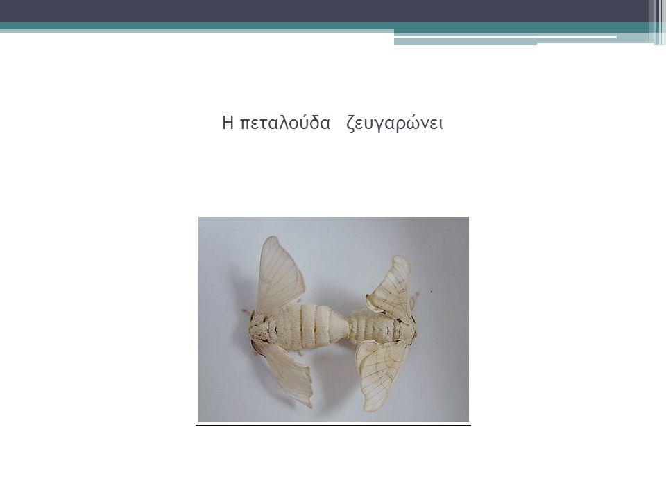 Η πεταλούδα ζευγαρώνει