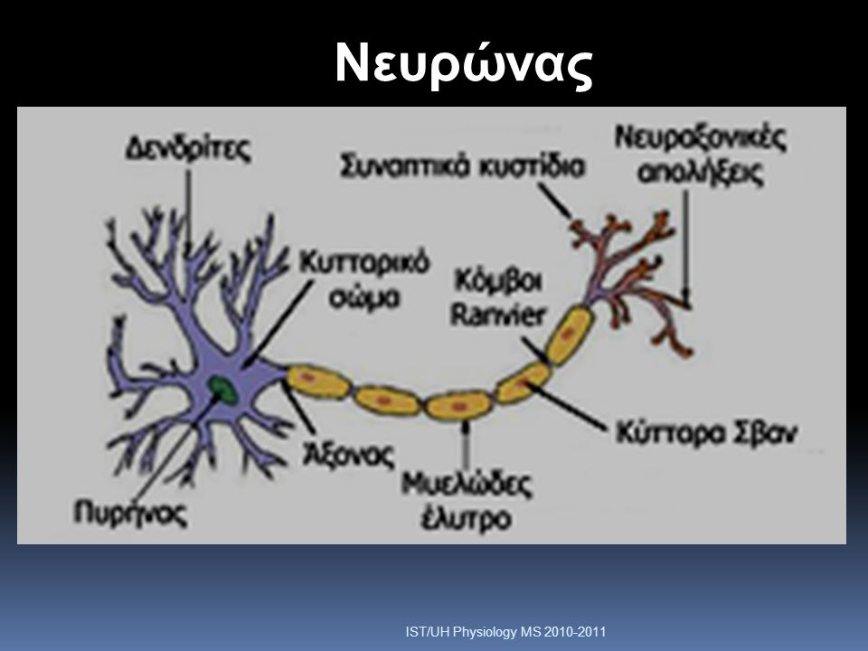 Nευρώνας IST/UH Physiology MS
