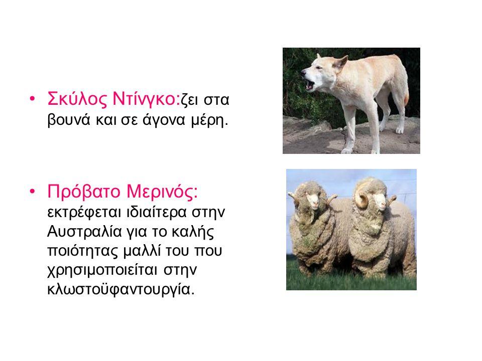 Σκύλος Ντίνγκο:ζει στα βουνά και σε άγονα μέρη.