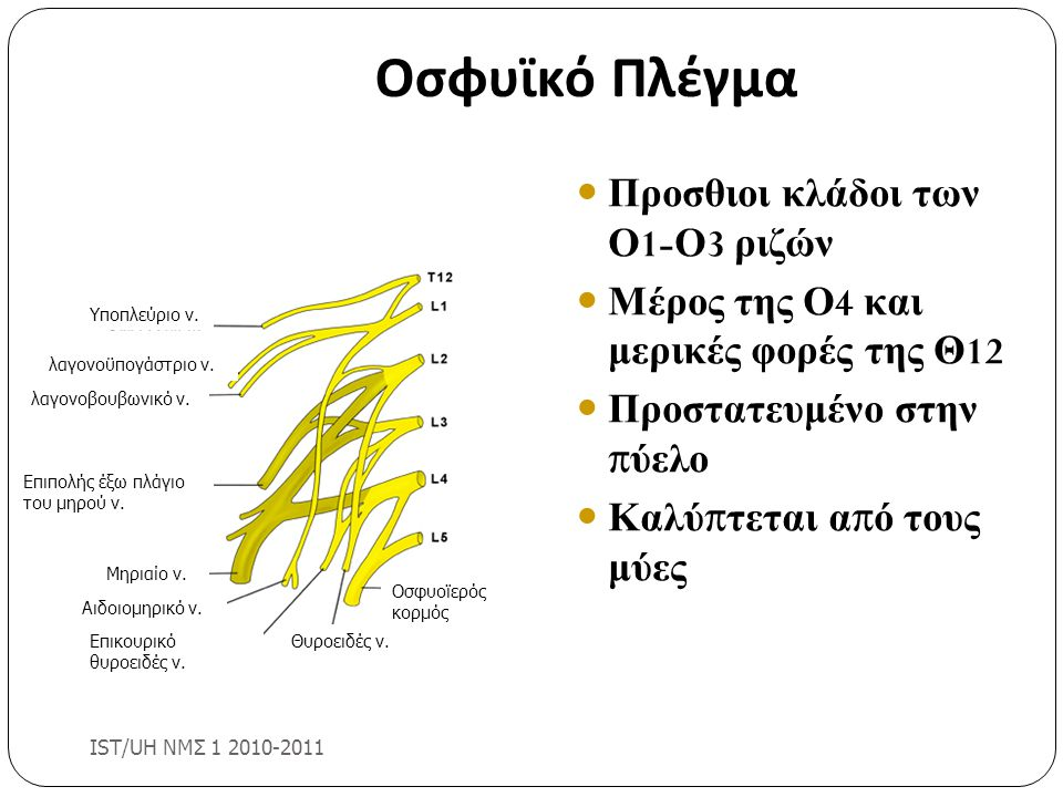 Οσφυϊκό Πλέγμα Προσθιοι κλάδοι των Ο1-Ο3 ριζών