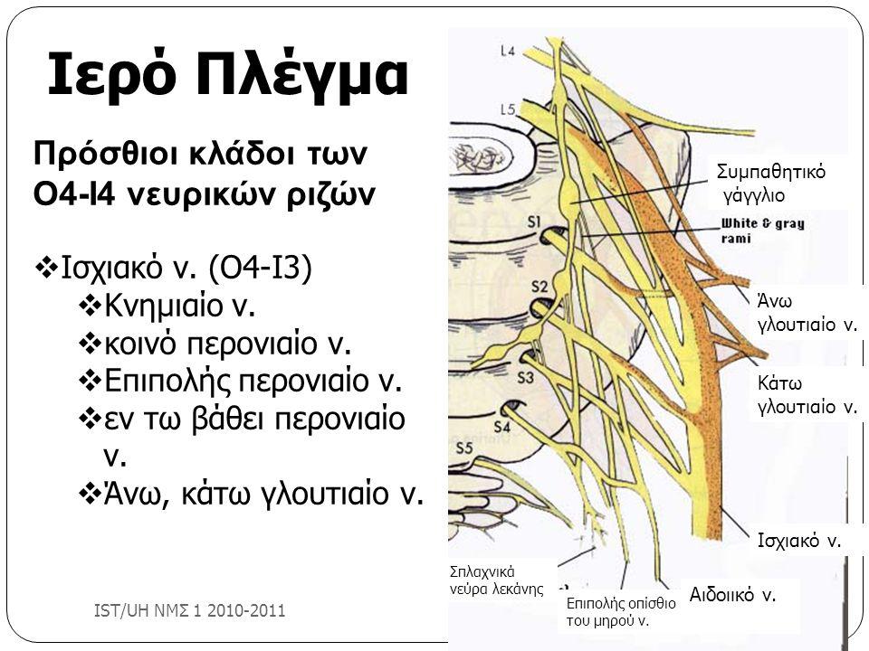 Ιερό Πλέγμα Πρόσθιοι κλάδοι των Ο4-Ι4 νευρικών ριζών