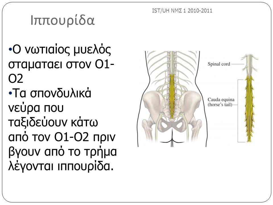 Ιππουρίδα Ο νωτιαίος μυελός σταματαει στον Ο1-Ο2