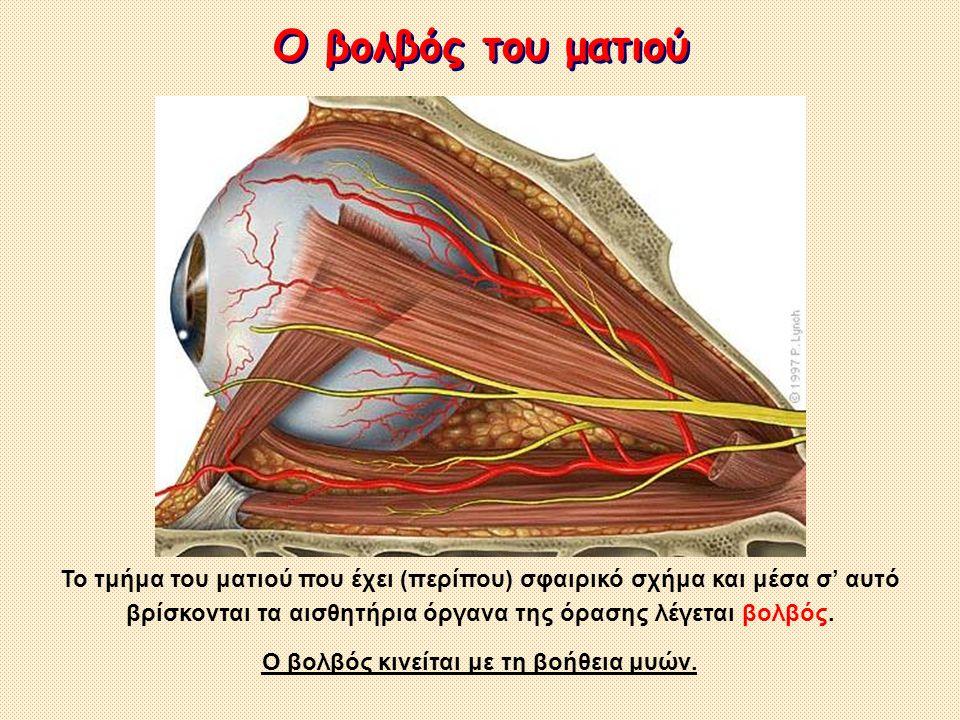 Ο βολβός κινείται με τη βοήθεια μυών.