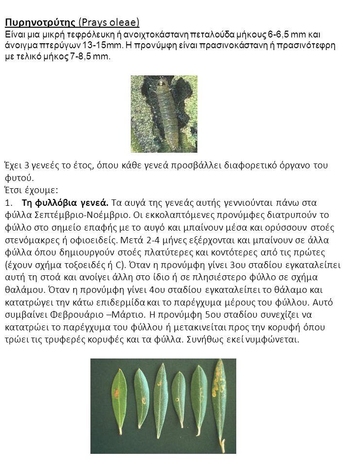 Πυρηνοτρύτης (Prays oleae)