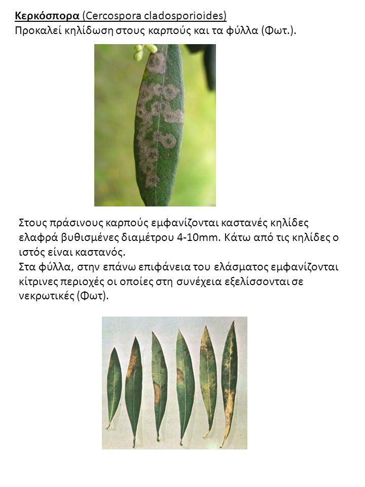 Κερκόσπορα (Cercospora cladosporioides) Προκαλεί κηλίδωση στους καρπούς και τα φύλλα (Φωτ.).