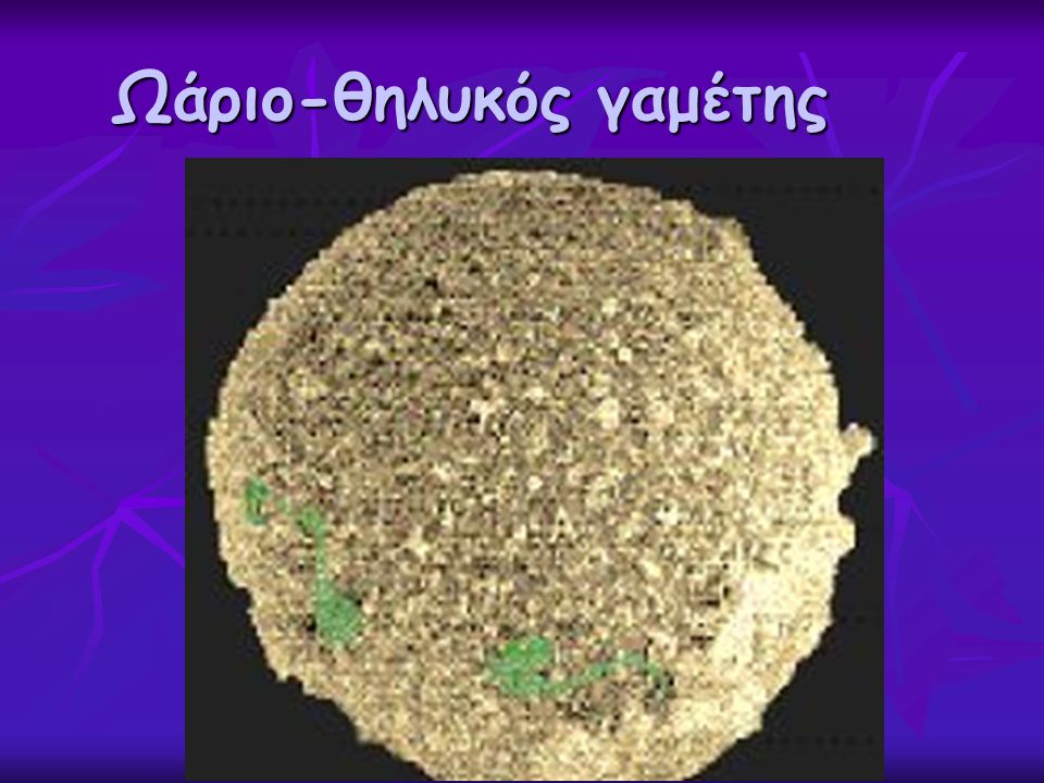 Ωάριο-θηλυκός γαμέτης