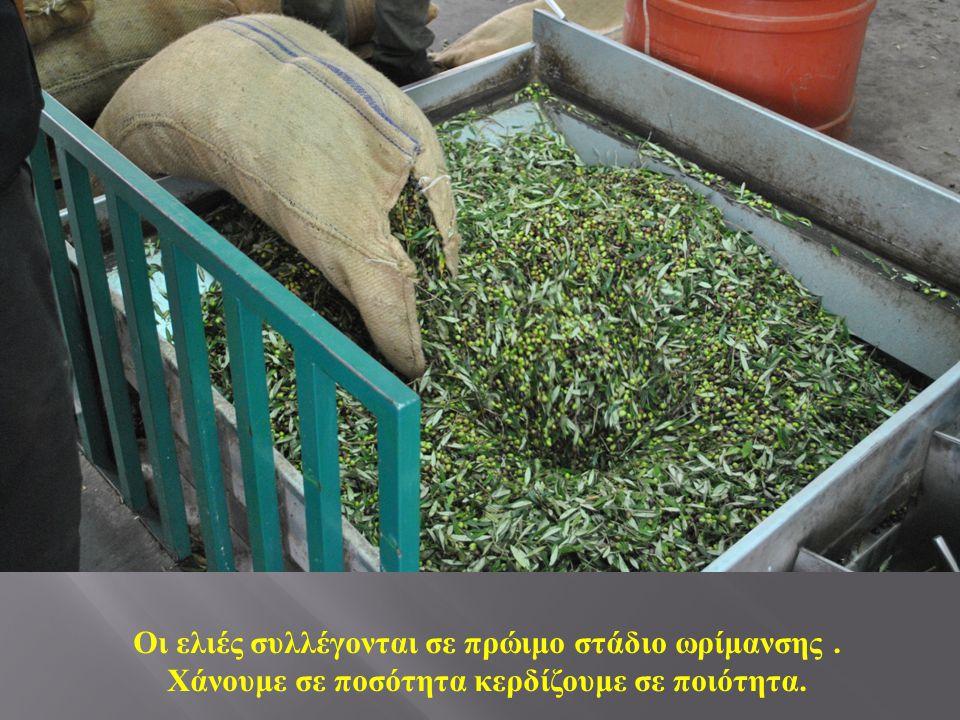 Οι ελιές συλλέγονται σε πρώιμο στάδιο ωρίμανσης