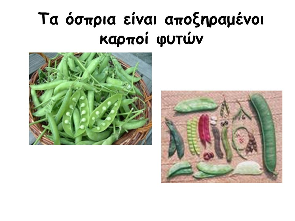 Τα όσπρια είναι αποξηραμένοι καρποί φυτών