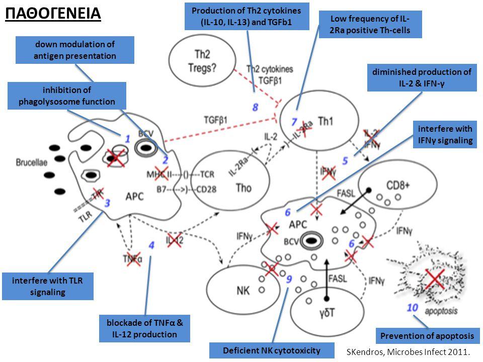 ΠΑΘΟΓΕΝΕΙΑ Production of Th2 cytokines (IL-10, IL-13) and TGFb1