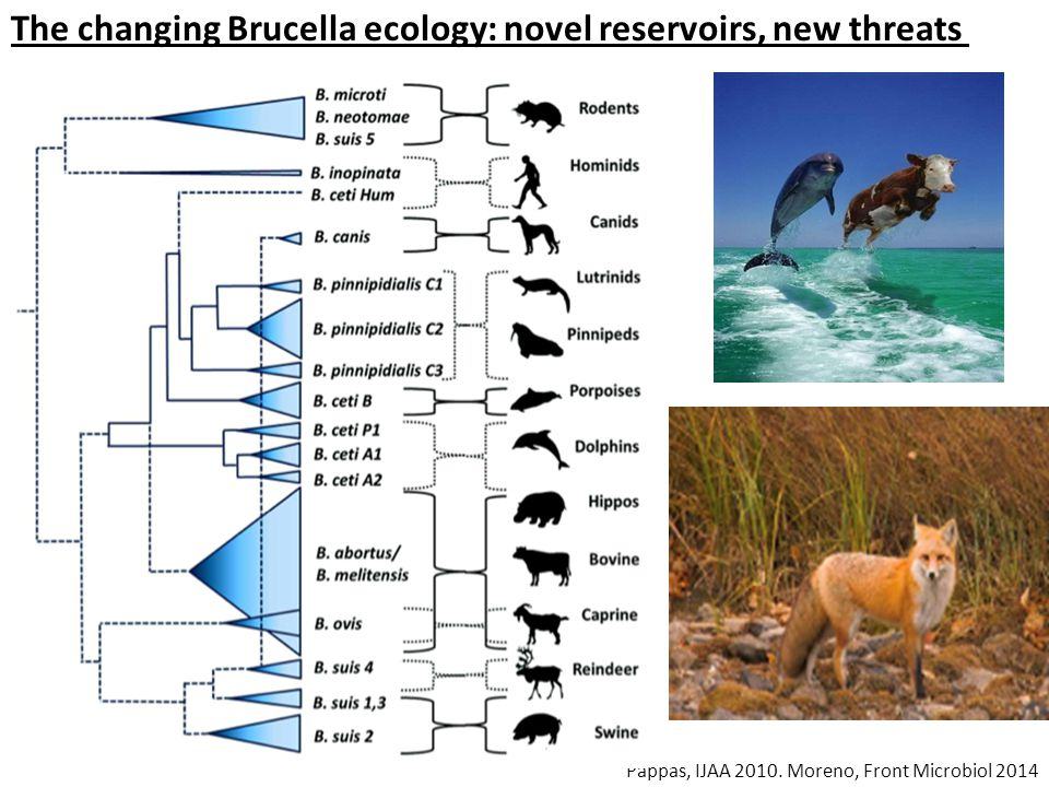 The changing Brucella ecology: novel reservoirs, new threats