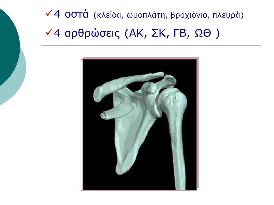 4 οστά (κλείδα, ωμοπλάτη, βραχιόνιο, πλευρά)
