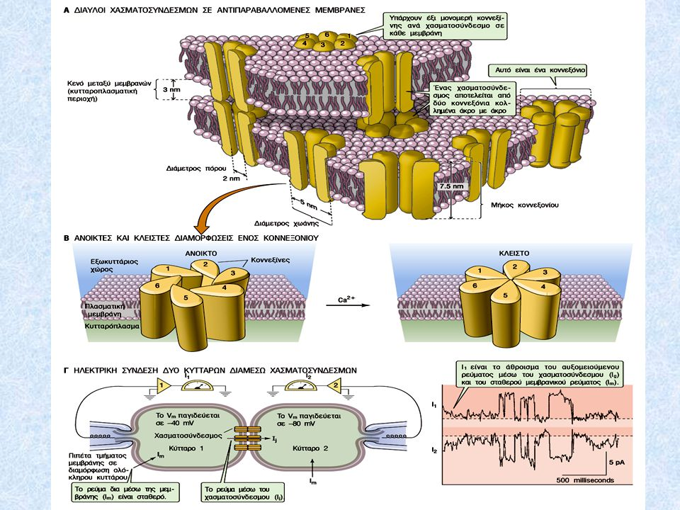 Δίαυλοι χασματοσυνδέσμων