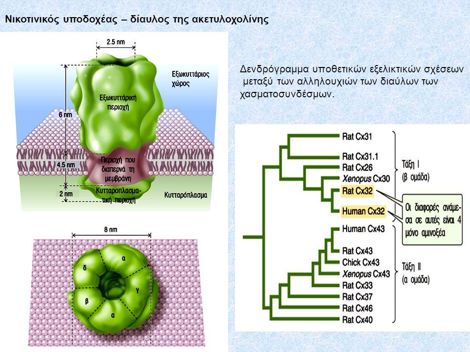 Νικοτινικός υποδοχέας – δίαυλος της ακετυλοχολίνης