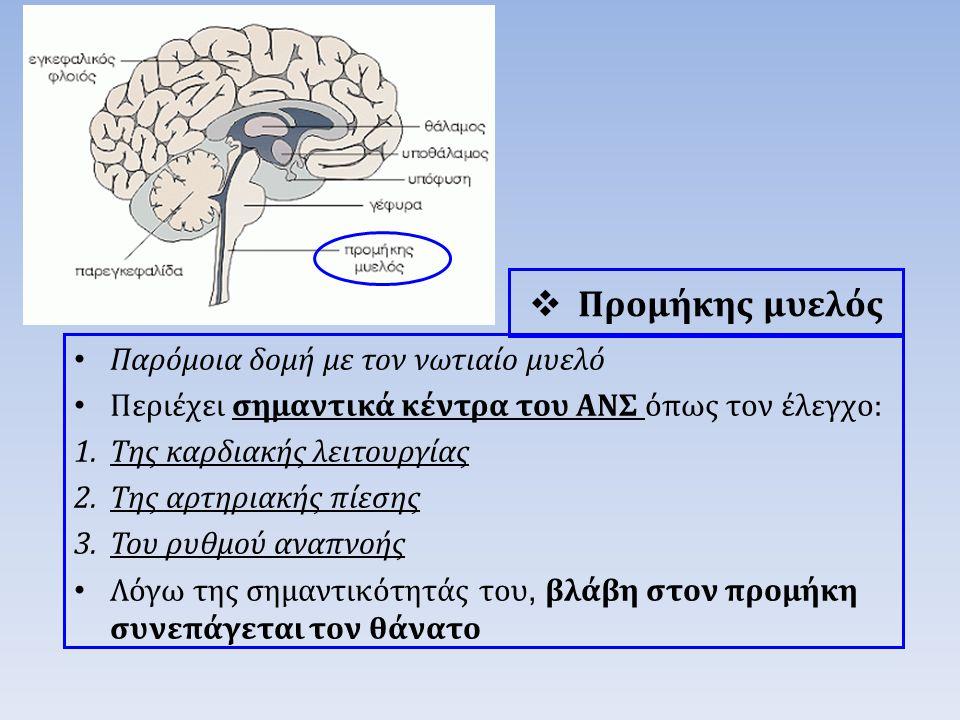 Προμήκης μυελός Παρόμοια δομή με τον νωτιαίο μυελό