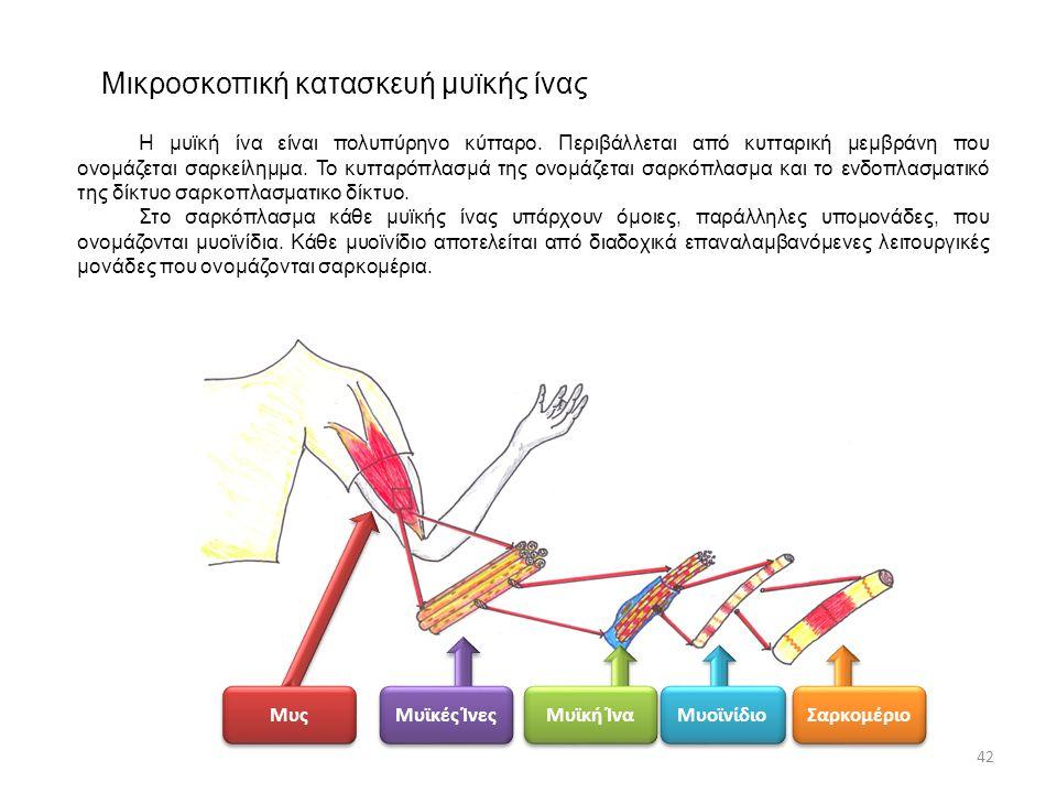 Μικροσκοπική κατασκευή μυϊκής ίνας
