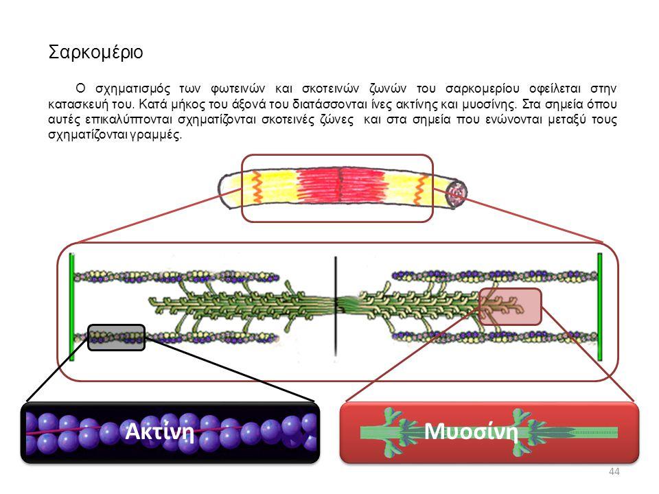 Ακτίνη Μυοσίνη Σαρκομέριο