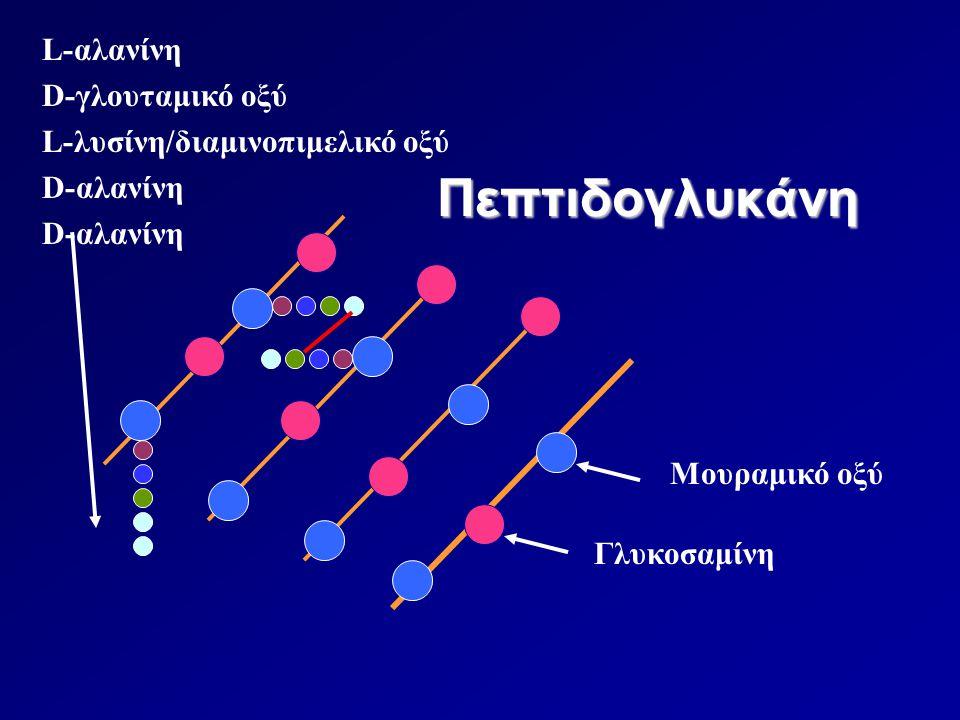 Πεπτιδογλυκάνη L-αλανίνη D-γλουταμικό οξύ L-λυσίνη/διαμινοπιμελικό οξύ