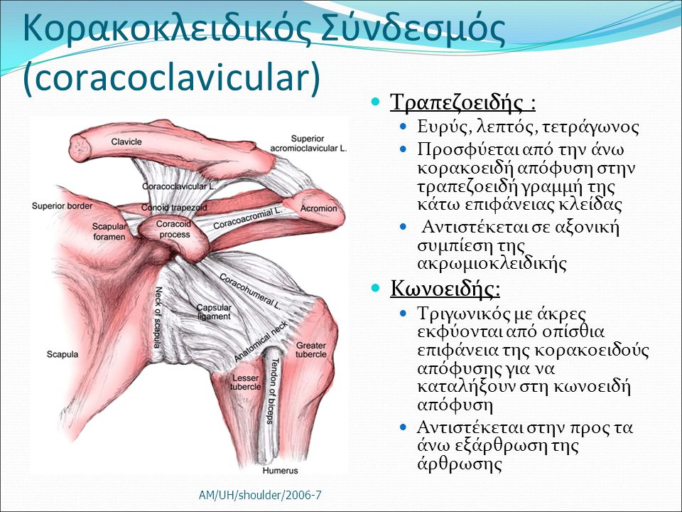 Κορακοκλειδικός Σύνδεσμός (coracoclavicular)