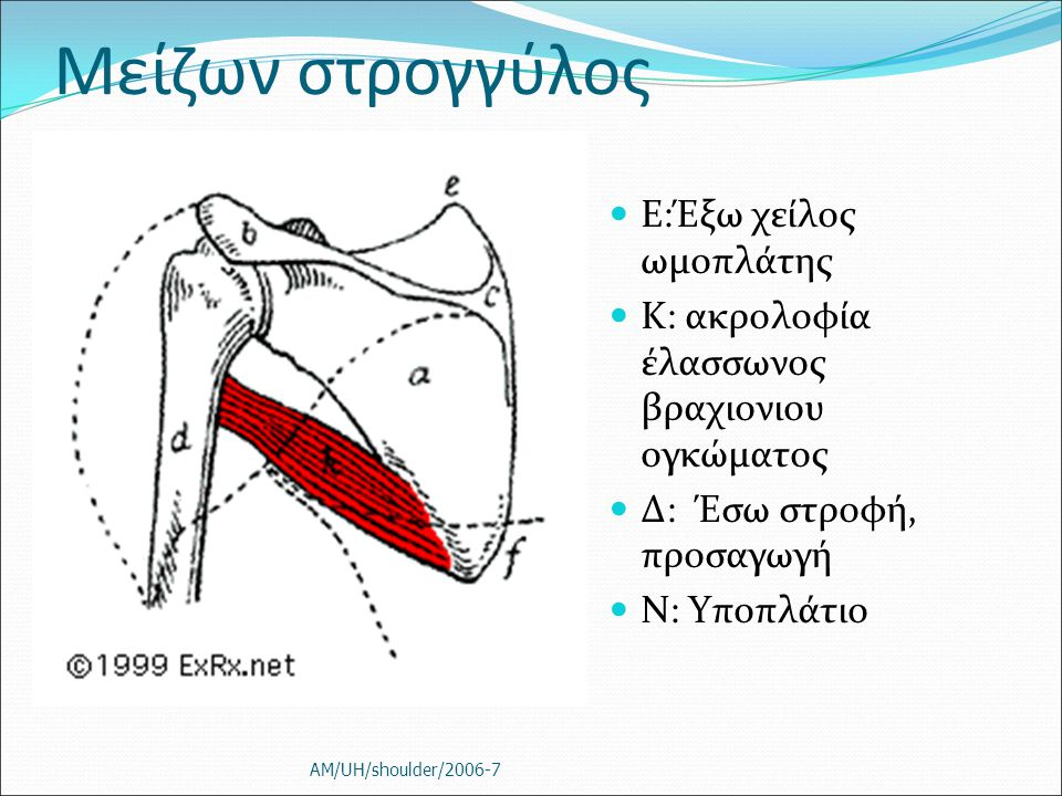 Μείζων στρογγύλος Ε:Έξω χείλος ωμοπλάτης