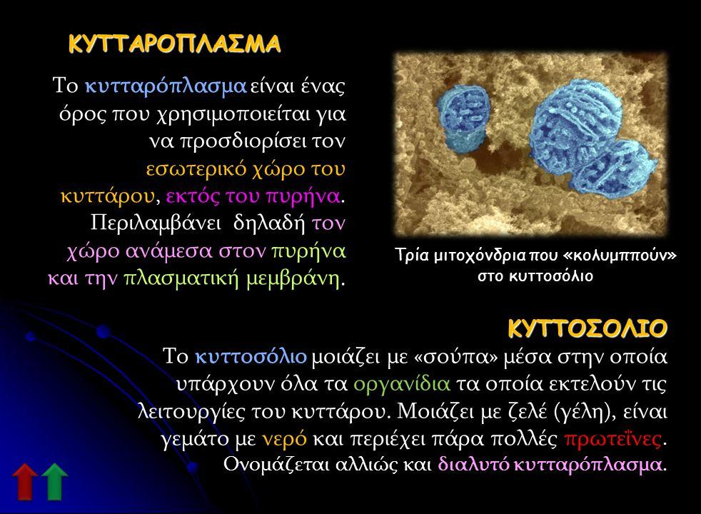 Τρία μιτοχόνδρια που «κολυμππούν» στο κυττοσόλιο