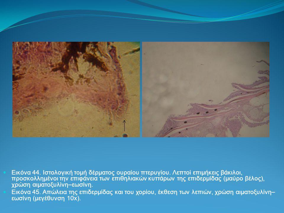 Εικόνα 44. Ιστολογική τομή δέρματος ουραίου πτερυγίου