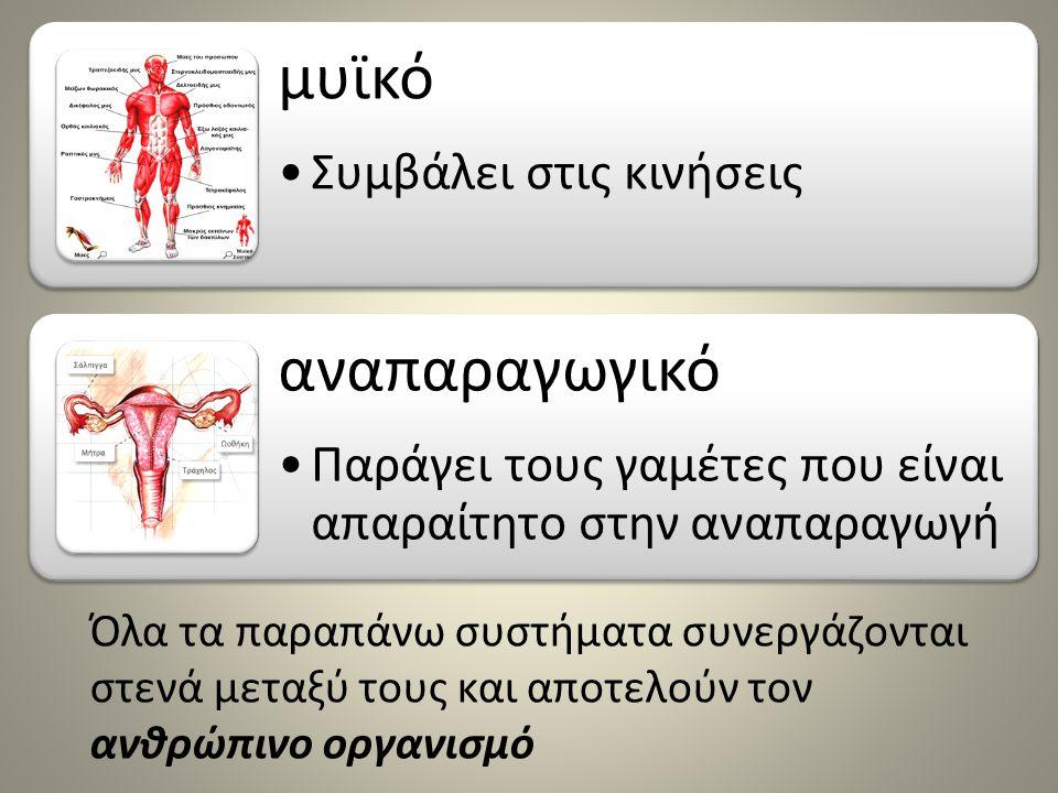 μυϊκό αναπαραγωγικό Συμβάλει στις κινήσεις