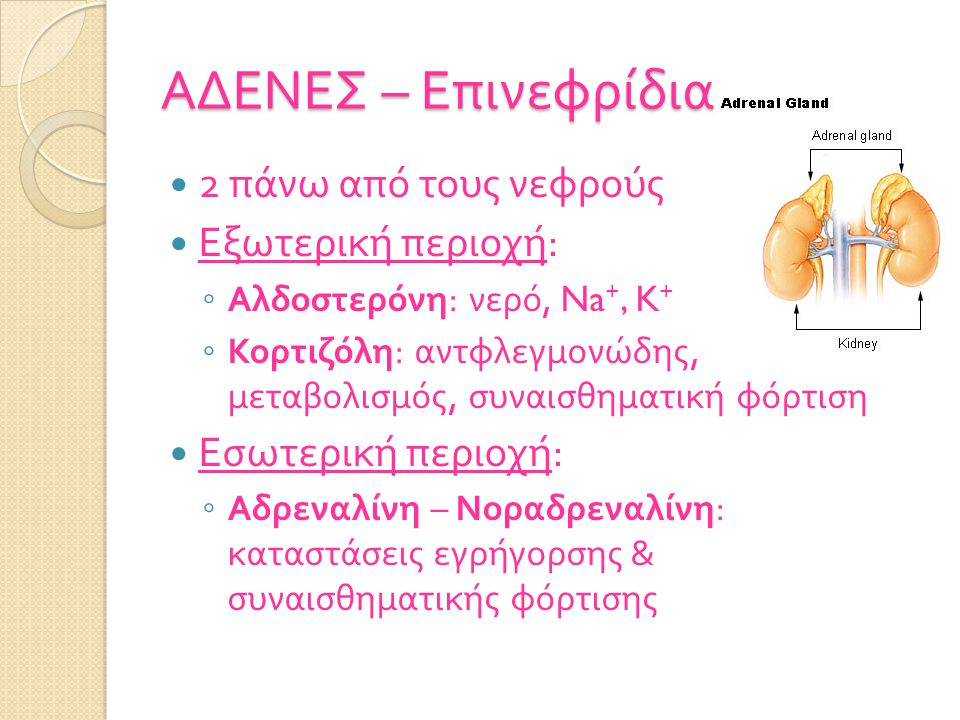 ΑΔΕΝΕΣ – Επινεφρίδια 2 πάνω από τους νεφρούς Εξωτερική περιοχή: