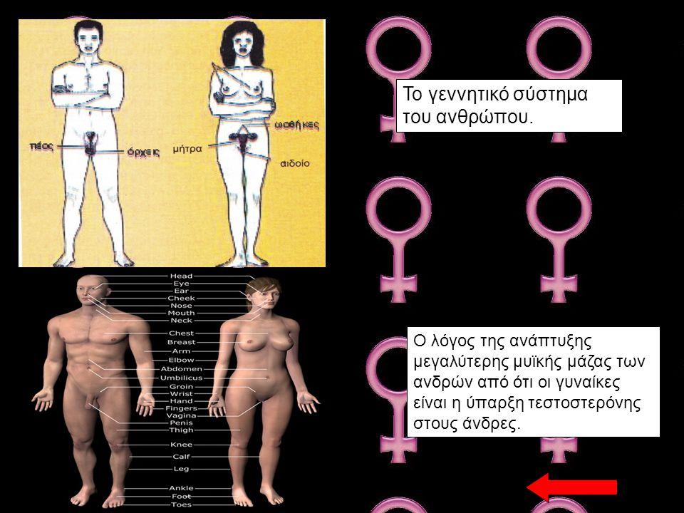 Το γεννητικό σύστημα του ανθρώπου.