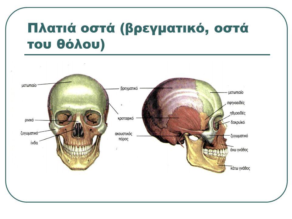 Πλατιά οστά (βρεγματικό, οστά του θόλου)