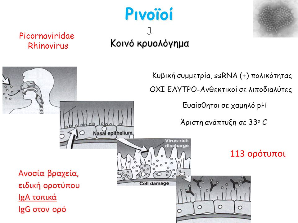 Ρινοϊοί Κοινό κρυολόγημα 113 ορότυποι Ανοσία βραχεία, ειδική οροτύπου