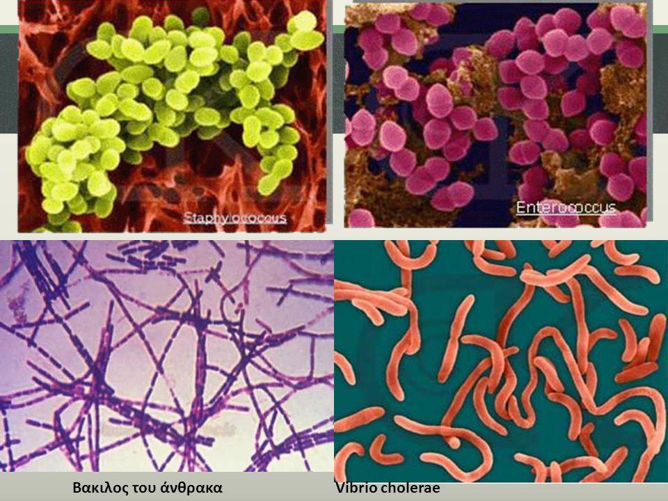 λεπτομερειες Βακιλος του άνθρακα Vibrio cholerae