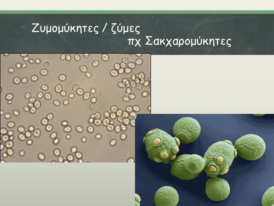 Ζυμομύκητες / ζύμες πχ Σακχαρομύκητες