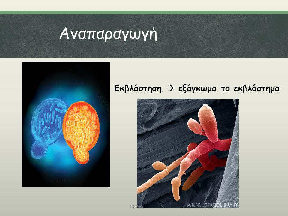 Αναπαραγωγή Εκβλάστηση  εξόγκωμα το εκβλάστημα Γεωργάτου Μ.
