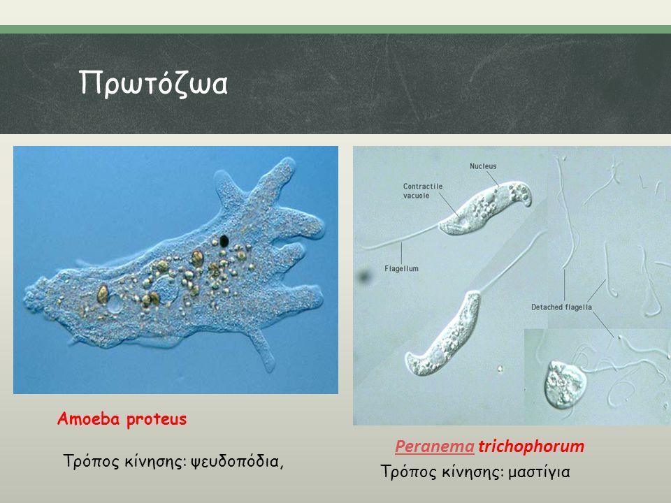 Πρωτόζωα Peranema trichophorum Amoeba proteus